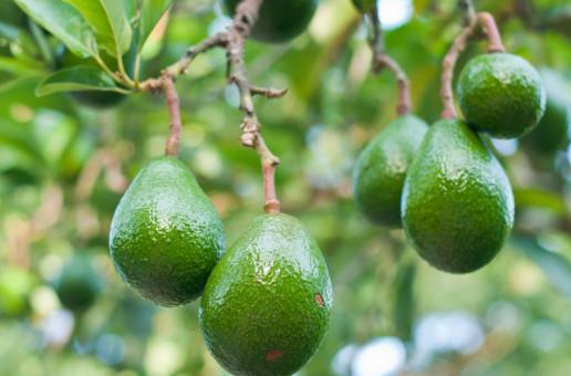 An avocado a day may help keep bad cholesterol at bay
